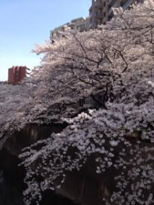 石神井川桜2JPG